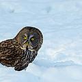 Great Gray Owl by Robert McAlpine