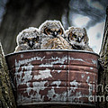 Great Horned Owl Chicks by Ronald Grogan