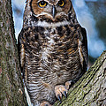 Great Horned Owl by Dale Kincaid