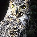 Great Horned Owl by Larry Allan