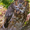Great Horned Owl by Millard H. Sharp