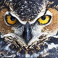 Great Horned Owl by Precision Images