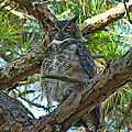 Great Horned Owl by Stephen Whalen