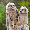 Great Horned Owlets by Les Palenik