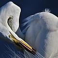 Great White Egret Preening by Paulette Thomas