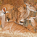 Greater Kudu Mother And Baby by Millard H. Sharp