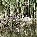 Grebe On Nest by Ronald Jansen