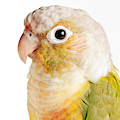 Green-cheeked Conure Pineapple P by David Kenny