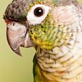 Green-cheeked Conure Pyrrhura Molinae by David Kenny