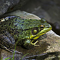 Green Frog by Christina Rollo