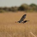 Green Heron by Doug McPherson