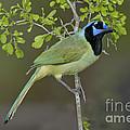 Green Jay by Anthony Mercieca
