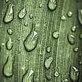 Green Leaf Abstract With Raindrops by Elena Elisseeva