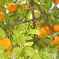 Green Leaves And Mature Oranges On The Tree by Jeelan Clark