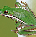 Green Treefrog by Millard H Sharp