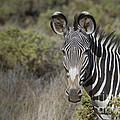 Grevys Zebra Stallion by John Shaw