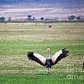 Grey Crowned Crane. The National Bird Of Uganda by Michal Bednarek