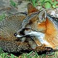 Grey Fox by Millard H. Sharp
