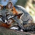 Grey Foxes by Millard H. Sharp