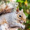 Grey Squirrel by Gyorgy Kotorman