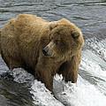 Grizzly Bear by Fitzroy Barrett