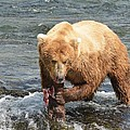 Grizzly Bear Salmon Fishing by Patricia Twardzik