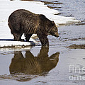 Grizzly Bear Stepping Into Water by Mike Cavaroc