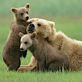 Grizzly Cubs Play With Mom by Yva Momatiuk John Eastcott