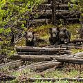 Grizzly Triplets After Rain by Yeates Photography