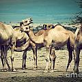 Group Of Camels In Africa by Michal Bednarek