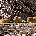 Guinea Pig Livestock At Lake Titicaca Peru by Jared Bendis