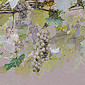 Hanging Thompson Grapes Sultana by Sally Rockefeller