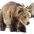 Happy Grizzly Bear by Brenda Boyer