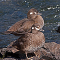 Harlequin Duck In The Lehardys Rapids On The Yellowstone River by Fred Stearns