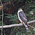 Hawk On Branch by MTBobbins Photography