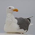 Herring Gull by Angie Vogel