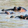 Hippopotamus Group In River. Serengeti. Tanzania by Michal Bednarek