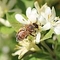 Honeybee And Honeysuckle by Lucinda VanVleck