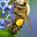 Honeybee On California Lilac by Sharon Talson