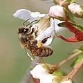 Honeybee On Cherry Blossom by Lucinda VanVleck