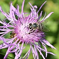 Honeybee On Ironweed by Lucinda VanVleck