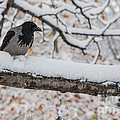 Hooded Crow First Snow by Jivko Nakev