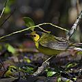 Hooded Warbler by Doug Lloyd
