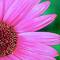 Pink Gerbera Flower by Crystal Wightman