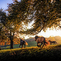 Horses Running At Sunset, Baden by Animal Images