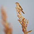 House Sparrow (passer Domesticus by Larry Ditto