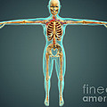 Human Body Showing Skeletal System by Stocktrek Images