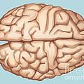 Human Brain by Spencer Sutton