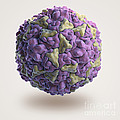 Human Rhinovirus by Science Picture Co