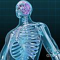 Human Skeleton And Brain, Artwork by Evan Oto